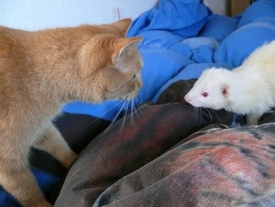 I've heard that ferrets and Кошки can get along well togeather if introduced properly, is this true?
