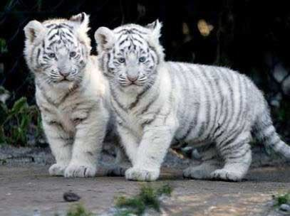 A white Tiger my Colors(色) black and white!And I would have double swords.