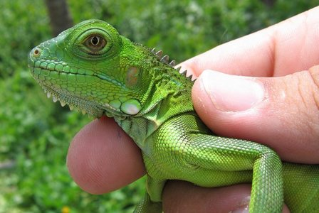 I want a pet Iguana, Iv already got 2 Tortoises, I Liebe looking after things, makes me fell like im actually doing something LOL xD