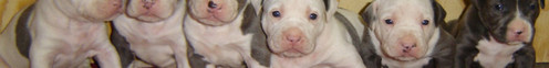 Pitbull terriers. Thet are sooo cute when they're little.