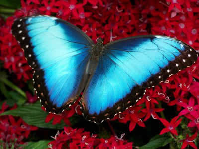 If I were a butterfly, I would be a Morpho Butterfly. Here is what they look like!