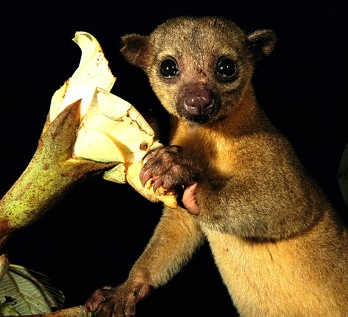 The Kinkajou of Central America. =)
