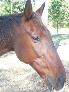 this is my beautiful boy. He is a standard bred gelding, 20yrs old. He is in retirement now, enjoying grazing :) also had another horse, a black throughbred mare, named Audrey.