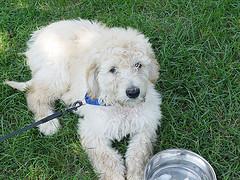 My little buddy Duncan! He is a goldendoodle, and hes about four now, but with every день he seems to get younger....I Любовь him though! <3