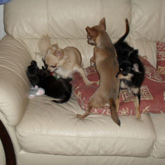 I have 4 dogs , 2 long hair chihuahuas and 2 short coat chihuahuas :)This is a picture of them playing lol !!