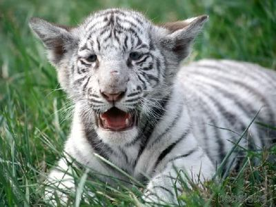 White tigers are my favorite kind of tiger.( =
