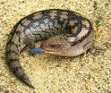 i have no idea. im not an expert on lizards. but if anyone ever wants to know, blue tonge lizards will probably eat snails