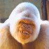 I 愛 this rare white gorilla smiling! こんにちは babe, sup?