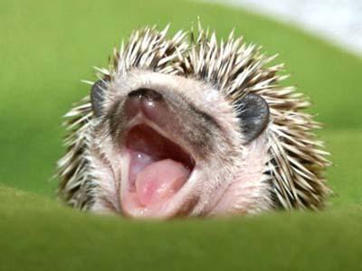 Awwww hedgehog