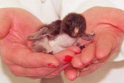 Its a little pinguino ;D