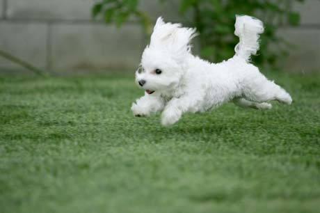 Cutie poodle :)