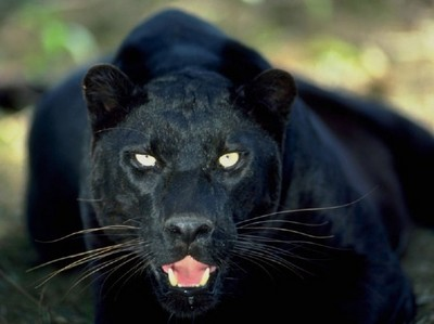 I'd be a panther. They look awesome, I dunno, I think it'd be cool to be so powerful and graceful(: