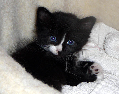 Black and White Kitten its dead cute!