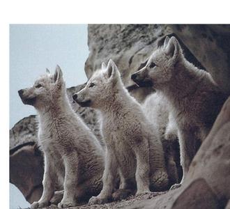 Baby wolvies!!!!^^