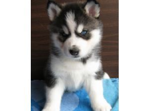To me ALL tuta are adorable, but really it depends because each person has a different view on what is cutest to them <3 I pag-ibig Siberian Huskies so here is one vvv