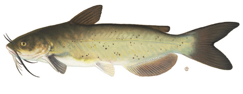 depends..do Du like catfish??