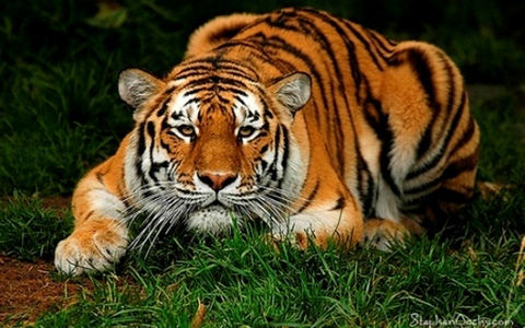 I would like to own a very tamed tiger, the most beautiful animal God has ever made :)