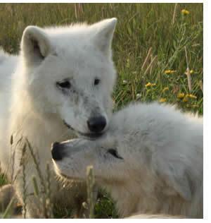 white lupo pup