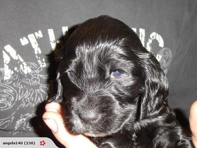 What is his/her name? Can te carica a foto to this domanda to mostra us what he/she looks like? What breed of dog is he/she? I am getting a new cucciolo too in a week his name is Chester and he is a cocker spaniel see foto