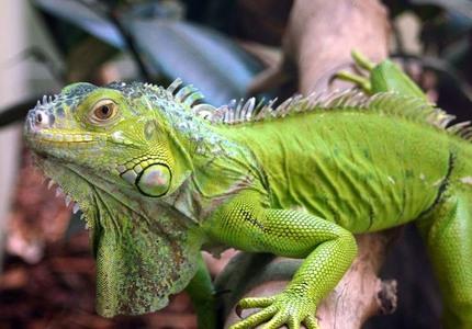 ...I'd be an iguana. See, look how cool! That, au I'd be the Geico gecko -ω-