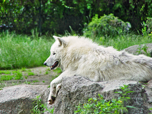 Artic Wolves, and भेड़िया arent wild! They are free :)