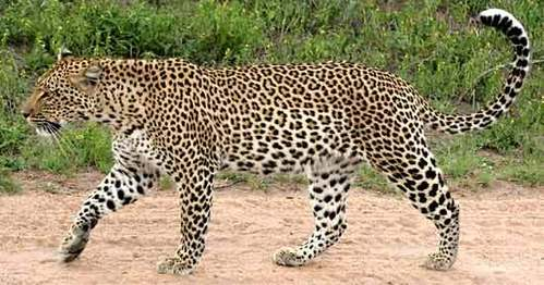 I'd prefer to be infused sejak a leopard!!! I guess there is no need to insist on the color she there is a specific one for leopards. As for the weapons ...maybe two swords... I think their called katana atau something like that