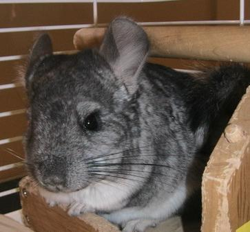 Well I'd save my chinchillas (on the picture) because they're আরো vulnerable... my family and dog can just follow me, but chinchillas can't really... I have to admit though that those জন্তু জানোয়ার annoy me a little bit but dying দ্বারা আগুন is just way too horrible for anyone...