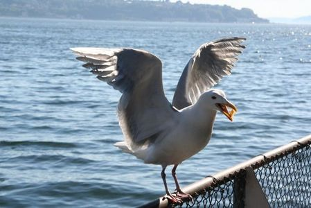 I saw a seagull....He ha rubato, stola my French Fries.
