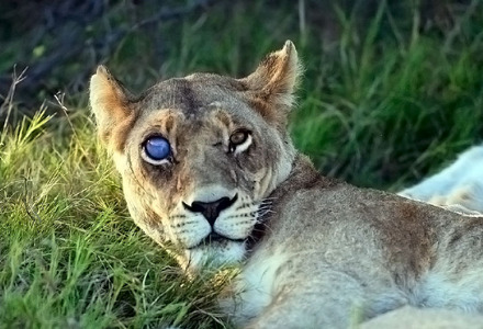 Is it okay if I post a picture of a lioness?