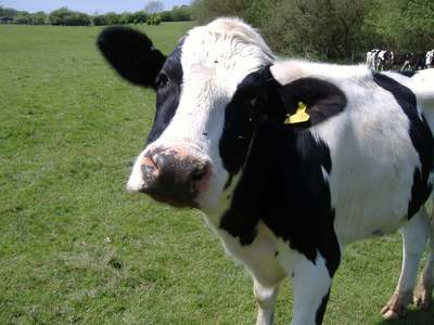 SAMMICH i mean COW