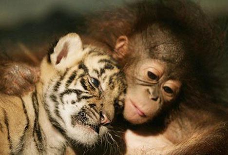 A monkey of a tiger cub :)