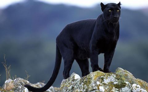 a panter, panther ;D