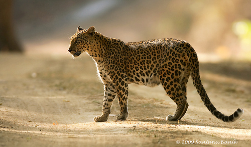 A panther,a tiger of a leopard!
