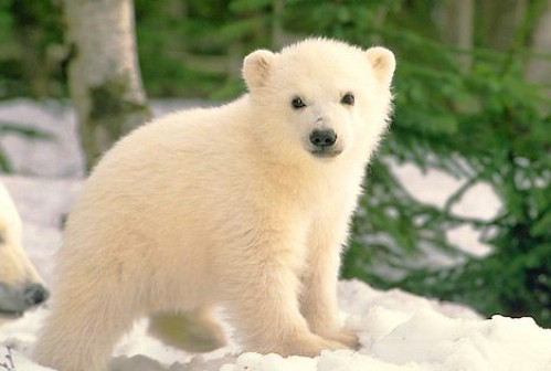 February 10...............look at this baby polar медведь its sooooooooooooooooooooooooo cute!!!!=3