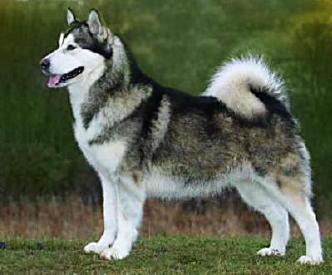 i প্রণয় Siberian Huskies and Rough Collies they are soooooooo cute