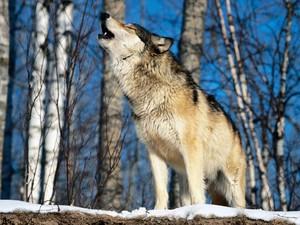 When a chó sói, sói howls.....