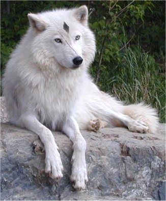 Claire as a wolf, (no diamond)