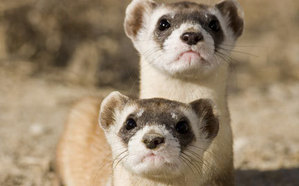 Two black-footed ferrets togeather
