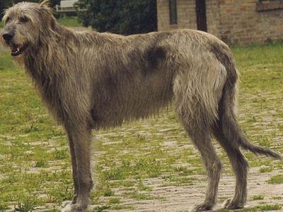 आयरिश wolfhound, आयरिश भेड़हाउस