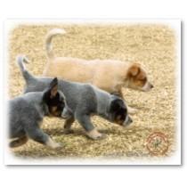 Australian red/blue cattle dogs