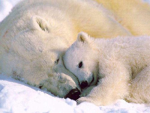 Polar медведь