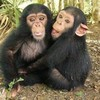 Chimpanzees and Bonobos