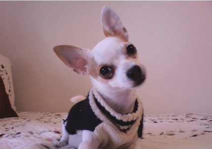 Name: Max Age: Almost 2 Color: White Hyperness: 10 Cute या Not?: Cute!!