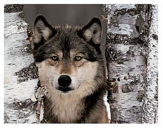 Ok.... I'm wanting to learn as much about wolves as I can becuase I'm going to become a Wolf Speclsit