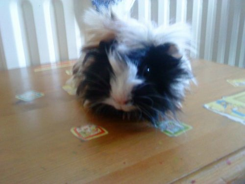 Pegi - guinea-pigs Photo