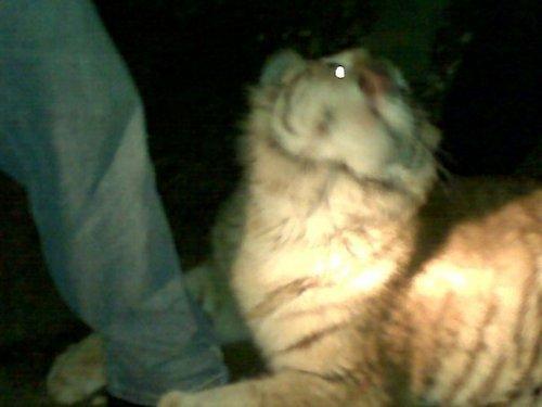Tigers!^^