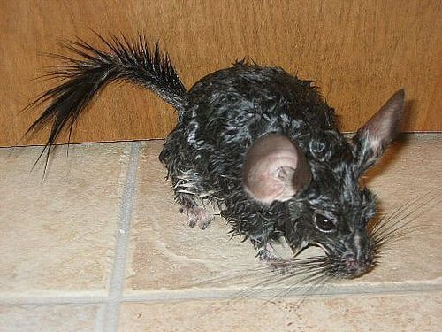 Animals wallpaper titled wet chinchilla after bath