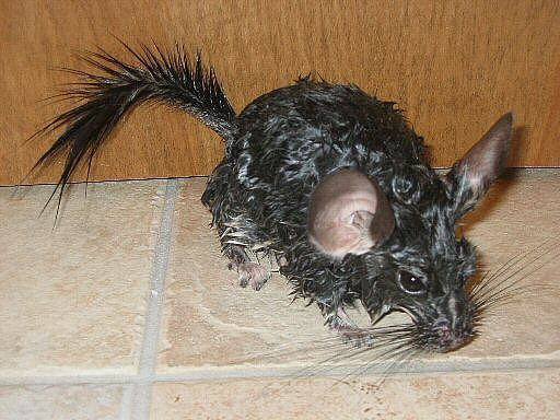 wet chinchilla after bath