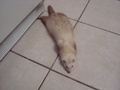 Bebop likes to flop down on the floor randomly a lot - ferrets photo