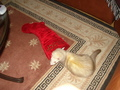 Bebop with his stocking on Xmas - ferrets photo